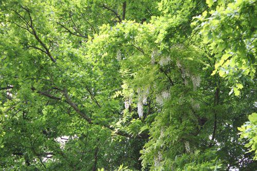4 wisteria veneux 26 mai 2013 013 (1).jpg