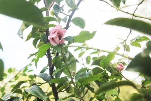 7 hibiscus syriacus romi 12 sept 2017 009.jpg