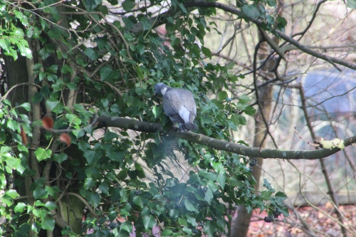 5 pigeon ramier veneux 15 janv 2016 019.jpg