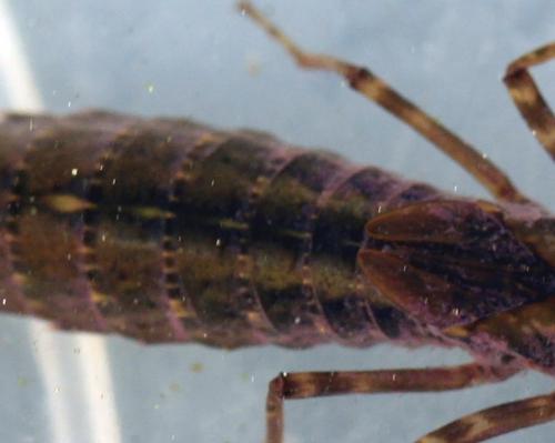 3 larve lib corps veneux 16 fev 2011 007.jpg