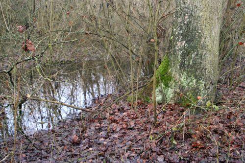 arbres quercus eau romi 9 jan 004.jpg