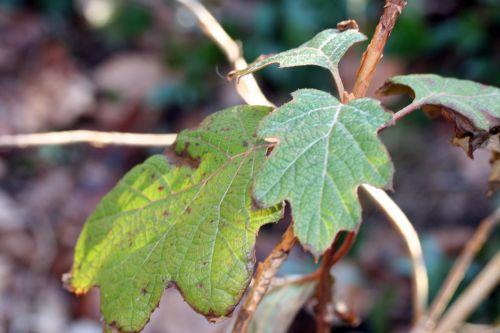quercifolia veneux 19 fev 008.jpg