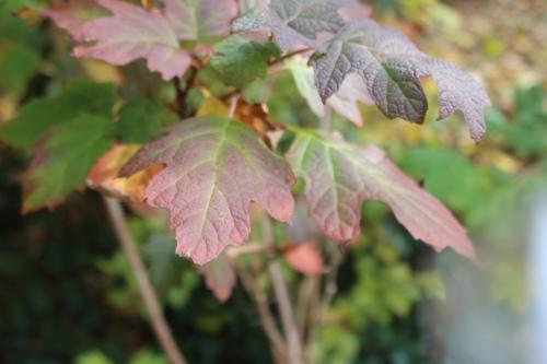 6 hydrangea quercifolia veneux 14 nov 2016 007.jpg