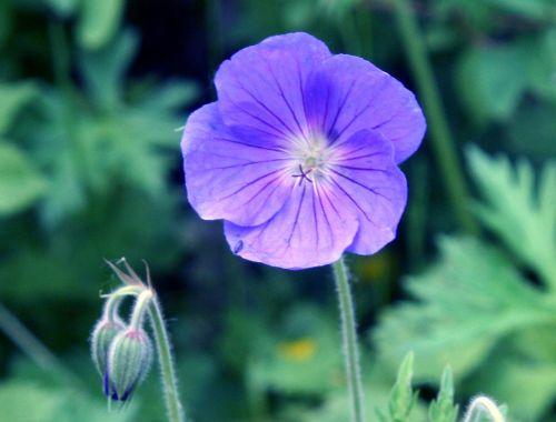 geranium orion 1 fl romi 28 mai 020.jpg