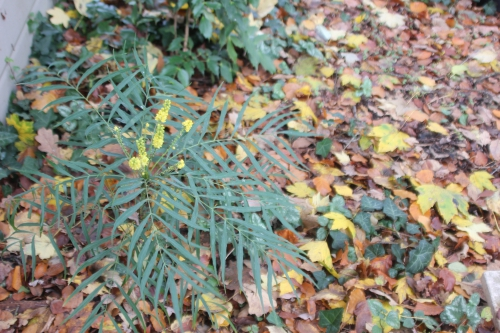 7 mahonia soft caress veneux 18 nov 2016 002 (1).jpg