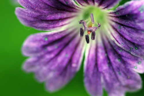 6 geranium nodosum romi 31 mai 2014 011 (3).jpg