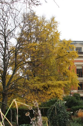 2 ginkgo paris 1 dec 2013 094.jpg
