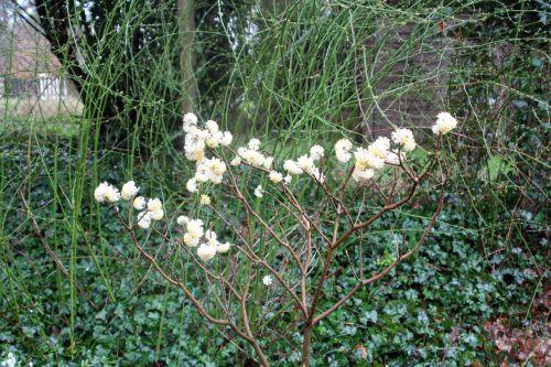 1 edgeworthia veneux 8 mars 2013 005.jpg