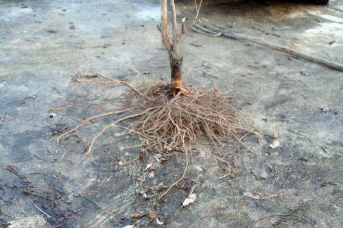 plumosa aurea racines trifouilly 10 dec 026.jpg