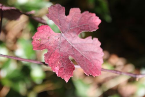 9 vitis vinifera purpurea barres 11 oct 2014 096 (3).jpg