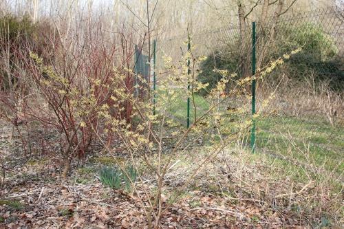 1 hamamelis arnold romi 13 mars 2015 001.jpg