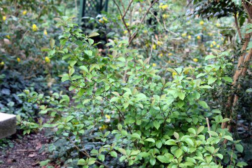 2 vib farreri nana veneux 6 avril 2012 008.jpg