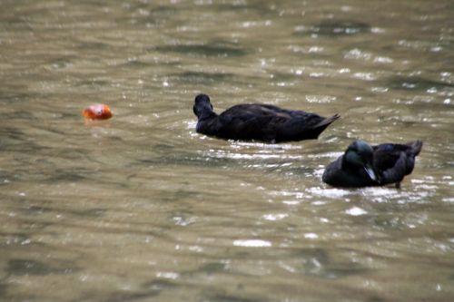 canards noirs sens 29 juil 114.jpg