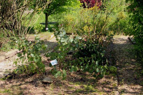 1 eucalyptus neglecta marnay 1 juin 2013 059.jpg