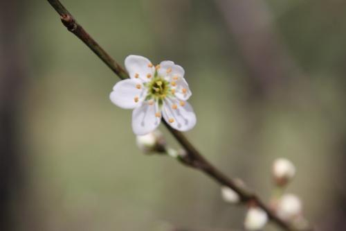 prunus spinosa romi 1 avril 2015 082 (3).jpg