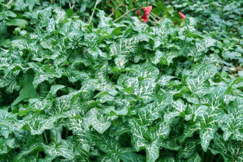 arum italicum.jpg