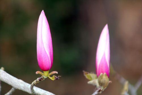 magnolia gresham gb 9 avril 2012 113.jpg