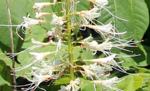 3 aesculus parviflora rec barres 27 juillet 2013 076.jpg