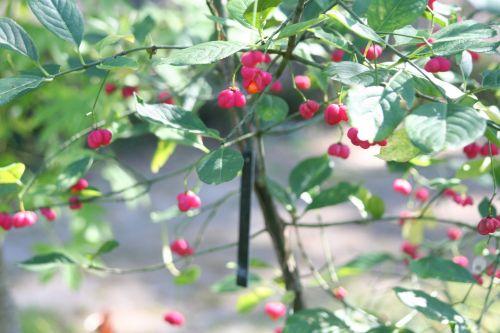 euonymus alatus fruit 16 septembre 023.jpg
