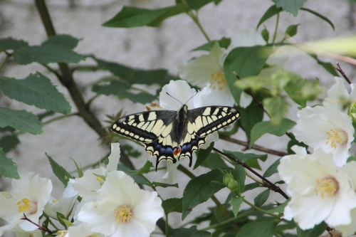 4 machaon veneux 9 juin 2016 001.jpg