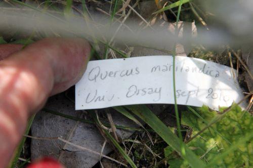 étiq quercus marilandica romilly 22 juil 2012 093.jpg
