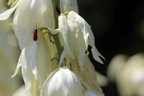 yucca flaccida 7 barres 27 juillet 2013 040.jpg
