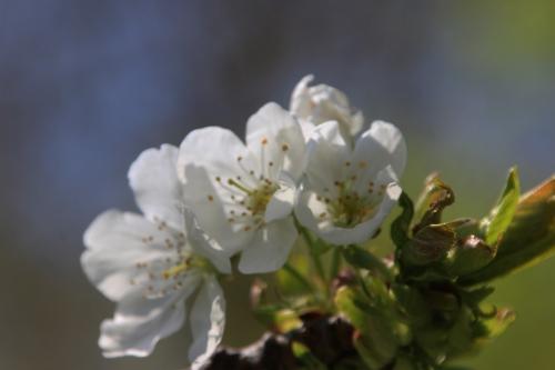 3 cerisier early river romi 19 avril 2016 022.jpg
