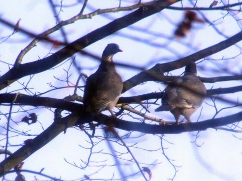 6 pigeons couple près 14 dec 010.jpg