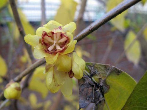 Chimonanthus kasuma 1[1].jpg
