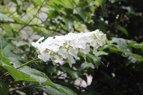 7 hydrangea quercifolia veneux 28 juin 2014 001 (2).jpg