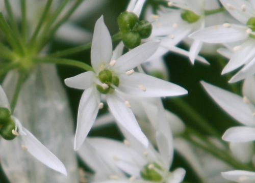 9 allium fleur veneux  005.jpg