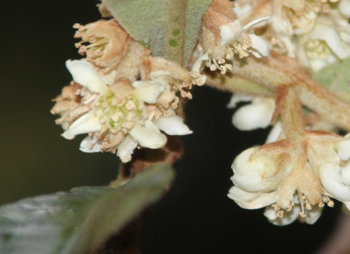 3 eriobotrya oliver rec veneux 23 nov 2015 002 (1).jpg