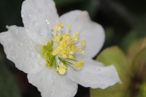 14 helleborus niger  veneux 28 déc 2012 007 (2).jpg