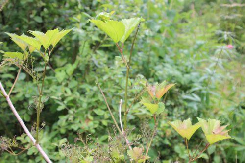 4 viburnum op roseum romi 1 juil 2014 007 (1).jpg