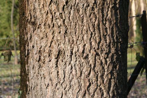 fraxinus 7 romi 12 déc 2010 019.jpg