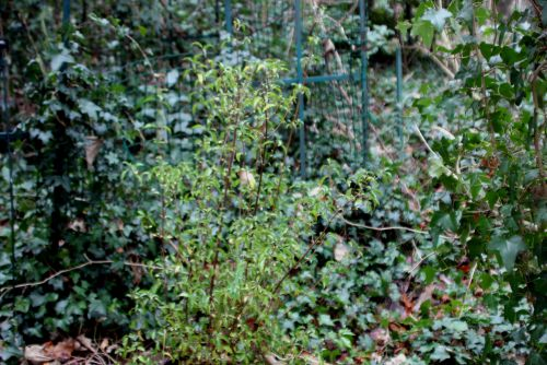 1 viburnum foetidum quad veneux 6 janv 2014 001 (1).jpg