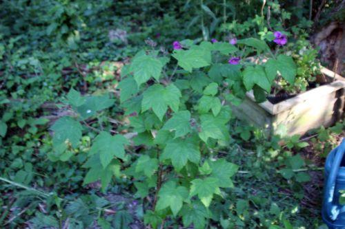 1 rubus odoratus romi 31 mai 2014 054.jpg