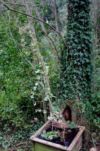 1 akebia trifoliata romi 22 sept 2013 002.jpg