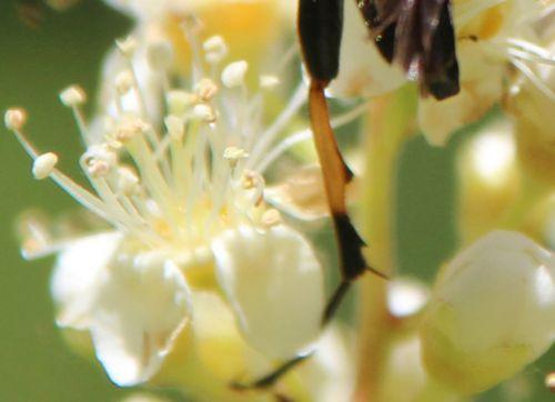 rutpela maculata tibia romi 22 juin 2014 034.jpg