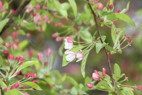 6 malus zumi gb 9 avril 2012 068.jpg