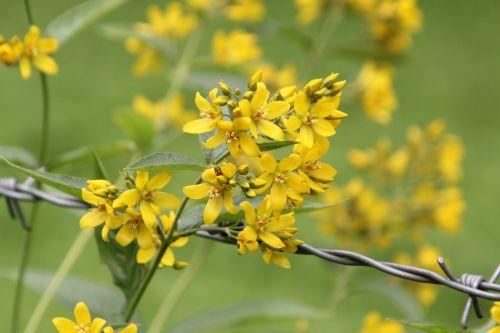 a lysimachia vulgaris romilly 16 juil 2012 244.jpg