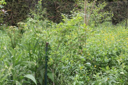 11 euonymus alatus romi 17 mai 2012 043.jpg