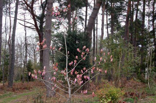 1 magnolia gresham gb 9 avril 2012 110.jpg