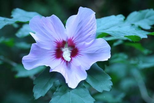 10 hibiscus syr veneux 29  juil  2010 015.jpg