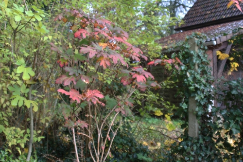 13 hydrangea quercifolia veneux 12 nov 2017 011.jpg