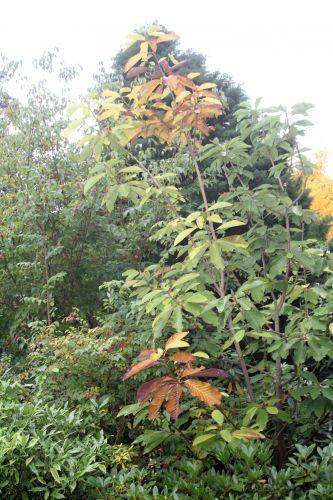 1 magnolia hypoleuca gb 6 oct 2012 108.jpg