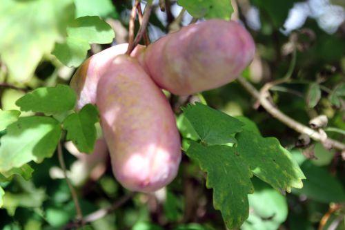 4 akebia trifoliata marnay 21 sept 2013 029 (2).jpg