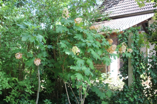 3 hydrangea quercifolia veneux 20 août 2016 010.jpg