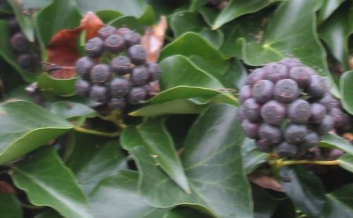3 hedera helix fruits veneux 6 déc 2014 010.jpg