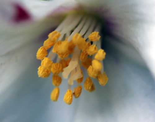 7 philadelphus coeur 22 mai 2011 019.jpg